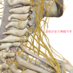 3D人体模型図神経