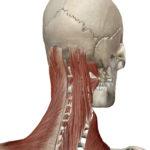 3D人体模型図筋肉表層
