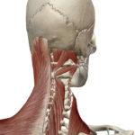 3D人体模型図筋肉中間層