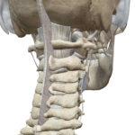 3D人体模型図靭帯